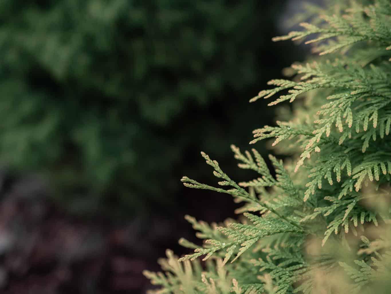 cedar-tree-branch